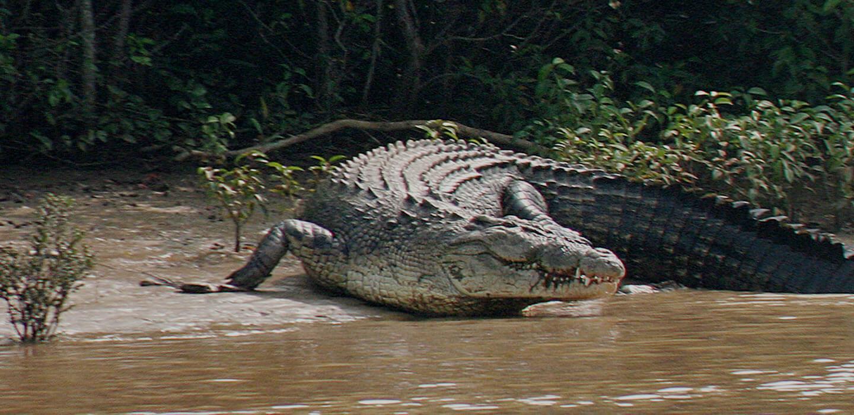 basking crocodiles